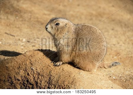 Prairie Dog photographed up close. Sunbathing outdoors in the sand. Photographed with it's side turned to the Camera.