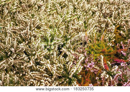 white heather background, at summer tropical background