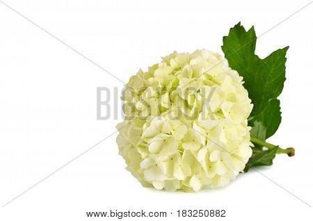 Close up of snowball flower isolated on white background