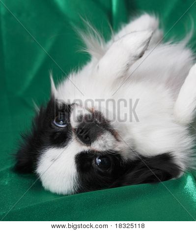 Japanese Chin in studio poster