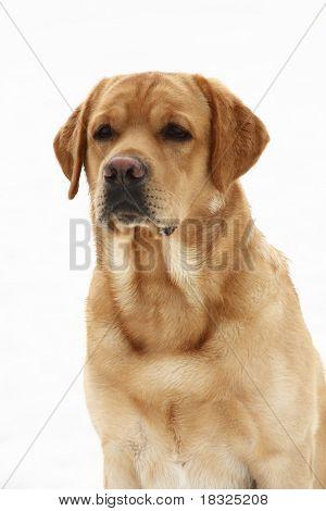Dog Breed Labrador Retriever