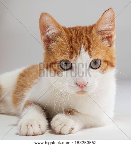 Studio shot of adorable young red kitten sits