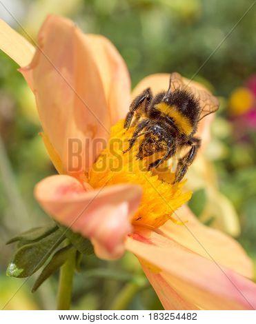honeybee collects pollen on pink flower. macro shot