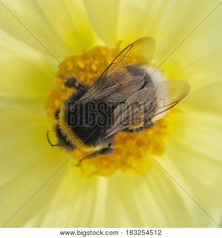 honeybee collects pollen on yellow flower. macro shot from top