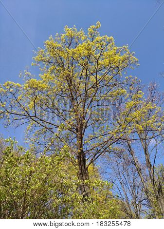 Fresh spring foliage in sunny weather. Young tall trees with green leaves on blue sky backdrop.