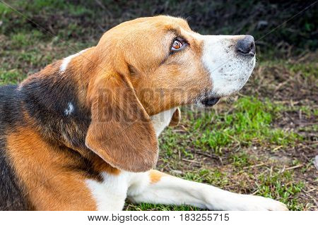 The dog's eyes Beagle. The profile of the head 1