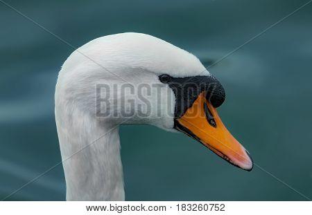 A swan portrait