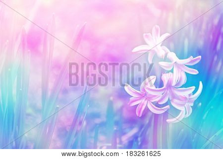 Bright and colorful flower of hyacinth on the background of the spring landscape