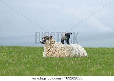 New-born lamb standing on its mother's back in Sussex field.