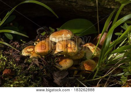 Cluster of Sulphur Tuft fungi growing in Sussex woodland.