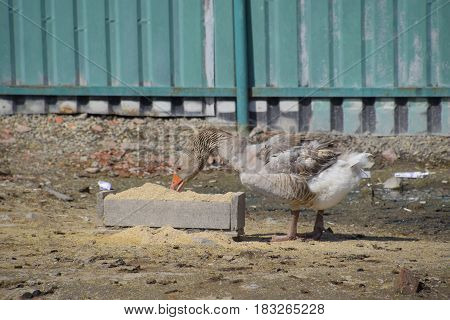 The Gray Goose Is Domestic. A Domestic Goose Is Food.