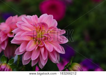 Landscape layout closeup of beautiful pink dahlia flower with drops of water