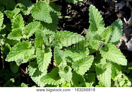 Melissa is a medicinal, perennial herb containing essential oils.