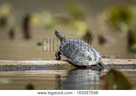 A western painted turtle basks on a log in Fernan Lake Idaho.