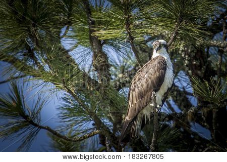 Osprey looks for fish from tree in north Idaho by Fernan Lake.