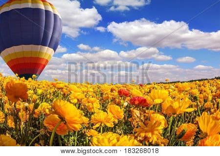 The magnificent blossoming fields of garden buttercups. Huge multicolored balloon flies slowly over the field. Concept of rural and extreme tourism
