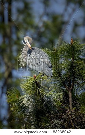 Great blue Heron preens itself in the tree by Fernan Lake in Idaho preens itself.