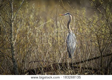 A great blue heron is perched on a log within the brush in Fernan Lake Idaho.