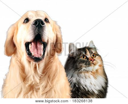 Cat and dog together, siberian, golden retriever looks top, isolated on white.