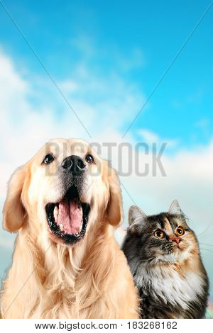 Cat and dog together, siberian, golden retriever looks top, on Blue Cloudy Background.