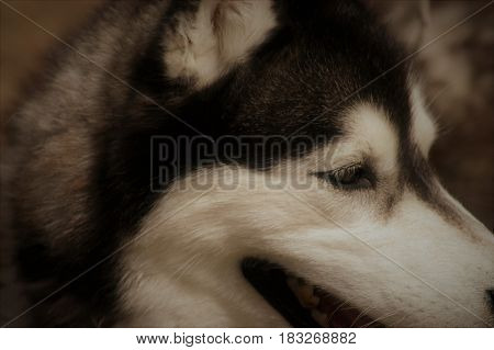husky dog face  eyes  ears pet  white close up
