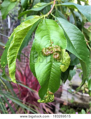 Peach leaf curl is one of the most common diseases affecting peach trees. Caused by the fungus Taphrina deformans. Leaves become thickened and puckered causing leaves to curl and severely distort.