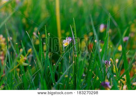 Close Up Of Fresh Morning Dew On Spring Grass