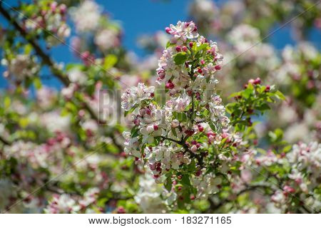 Apple Tree Blossoms on a sunny day with blurred background