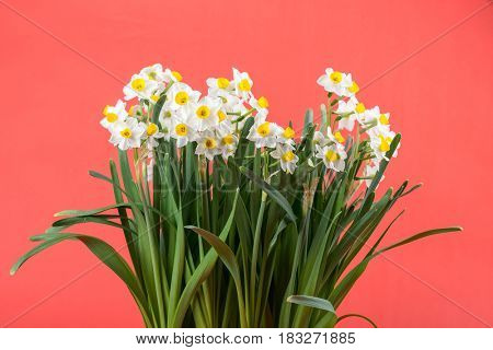 narcissus blooming with red background