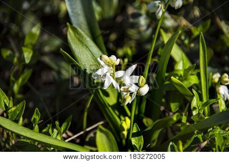 Snow drops early spring white wild flower with green background.