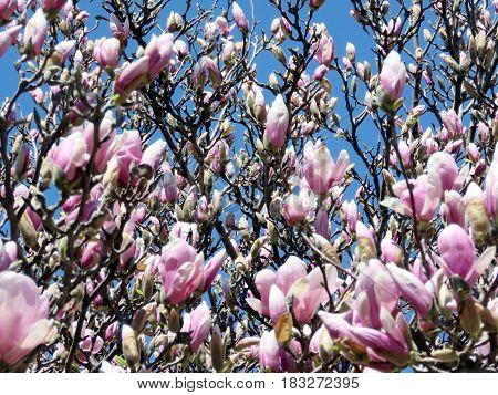 Magnolia blossom in spring in Thornhill Canada April 23 2017