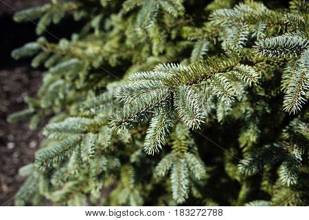 pine trees. Green pine brunches, pine wood. pine in the forest. sunny day at the pine woods. Green brunches of pine in a forest, The trees with young pine brunches,