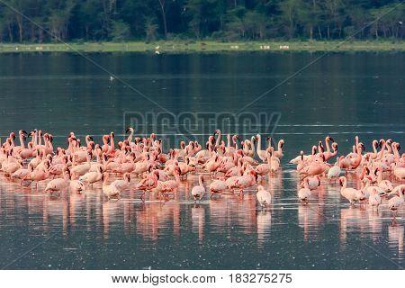 Pink flamingos flock. Nakuru lake, Kenya. Africa