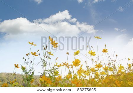 the yellow cosmos in sunshine day from Chaingmai Thailand