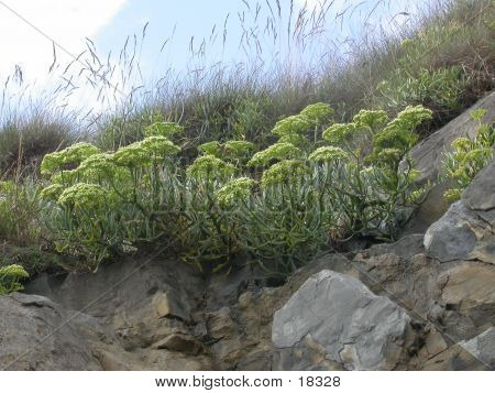 Rock Samphire On Cliff Face