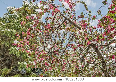 Spring snow on a crabapple tree with pink buds and blossoms and green leaves against a blue sky with scattered clouds