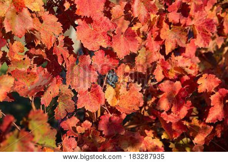 A small bunch of grapes in the midst of red grape leaves