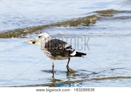 Petrel Bird Wading In The Shallows Of Harbor