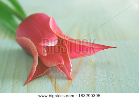Beautiful pink tulip flower background. Macro selective focus tulip closeup natural beauty. Retro soft wooden table vintage greeting card template with copy-space for message text.