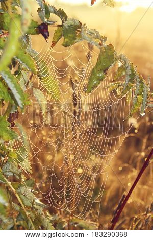 the spider's web with drops of dew on the branches of mountain ash on a background of dawn with bokeh