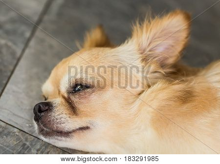 Sadness Dog with tears on the eye. Chihuahua was waiting for his owner.