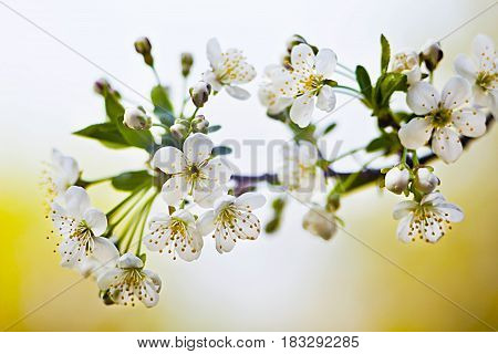A branch of blossoming cherry. Petals, buds, stamens