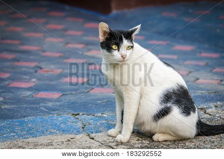 Thai cat yellow eye portrait. Black and white tabby cat on cement floor.