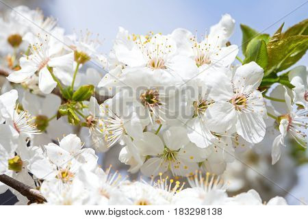 Close up picture of beautiful spring blossom - blooming apple trees in the garden outdoor