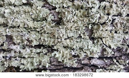 Lichens growing on the tree bark. Abstract texture