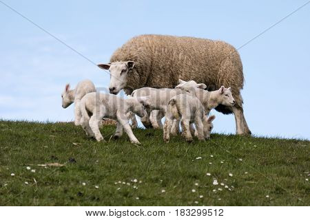 Lambs On The Dike Of Westerhever In Germany