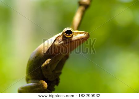 Common tree frog or golden tree frog and background of nature.Close up