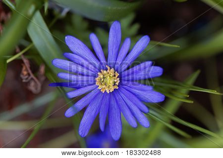 Flower of a Balkan anemone (Anemone blanda)