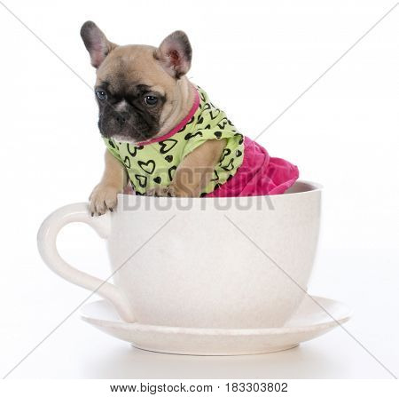 cute female puppy in a teacup