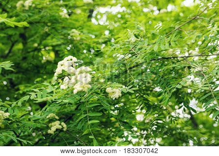 Flowers rowan. lowering rowan in spring time. White flowers of the rowan tree.